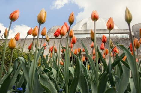 Photos of tulips and the dome
